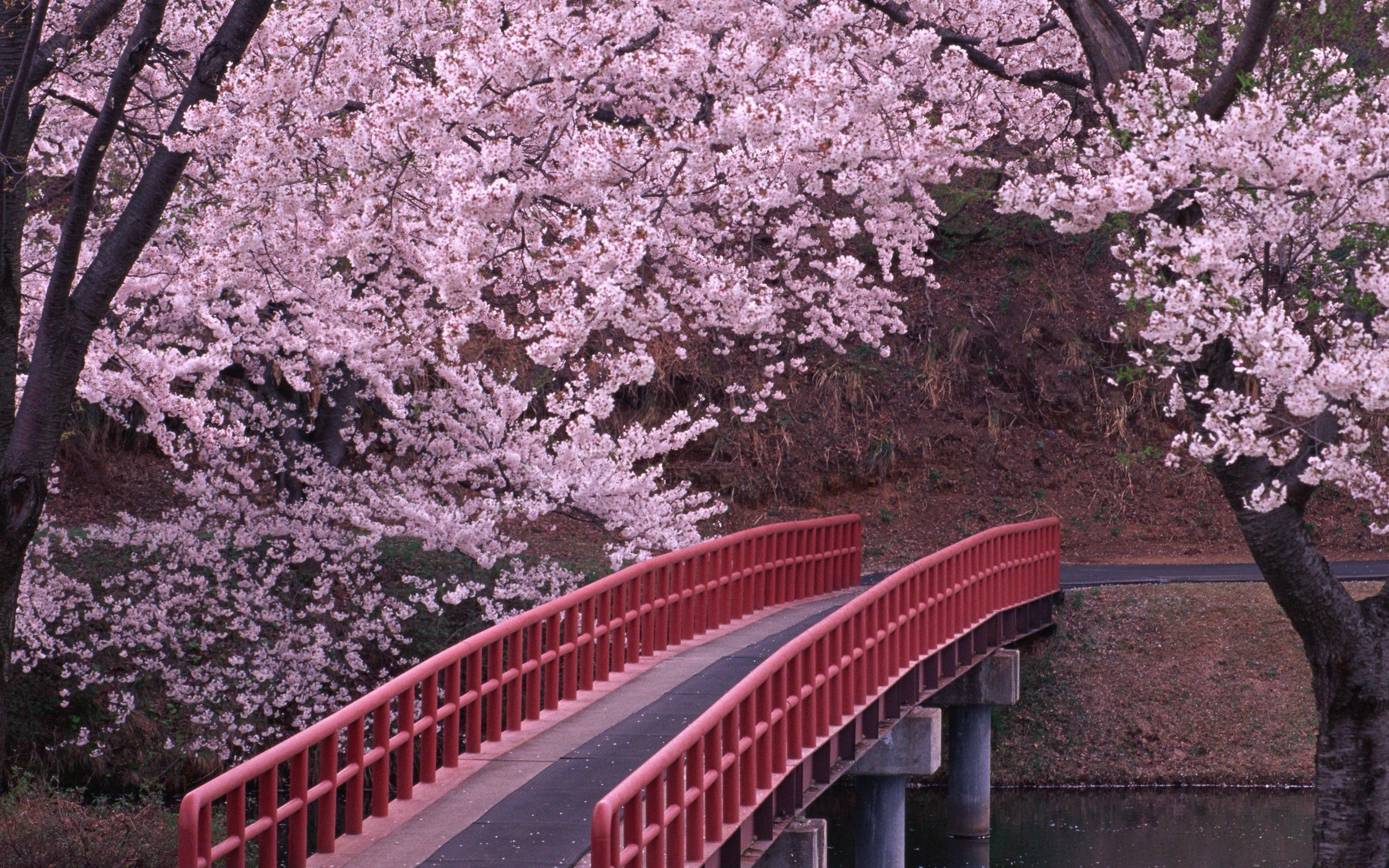 Landscapes Cherry Blossoms Flowers Bridges Fresh New HD Wallpaper