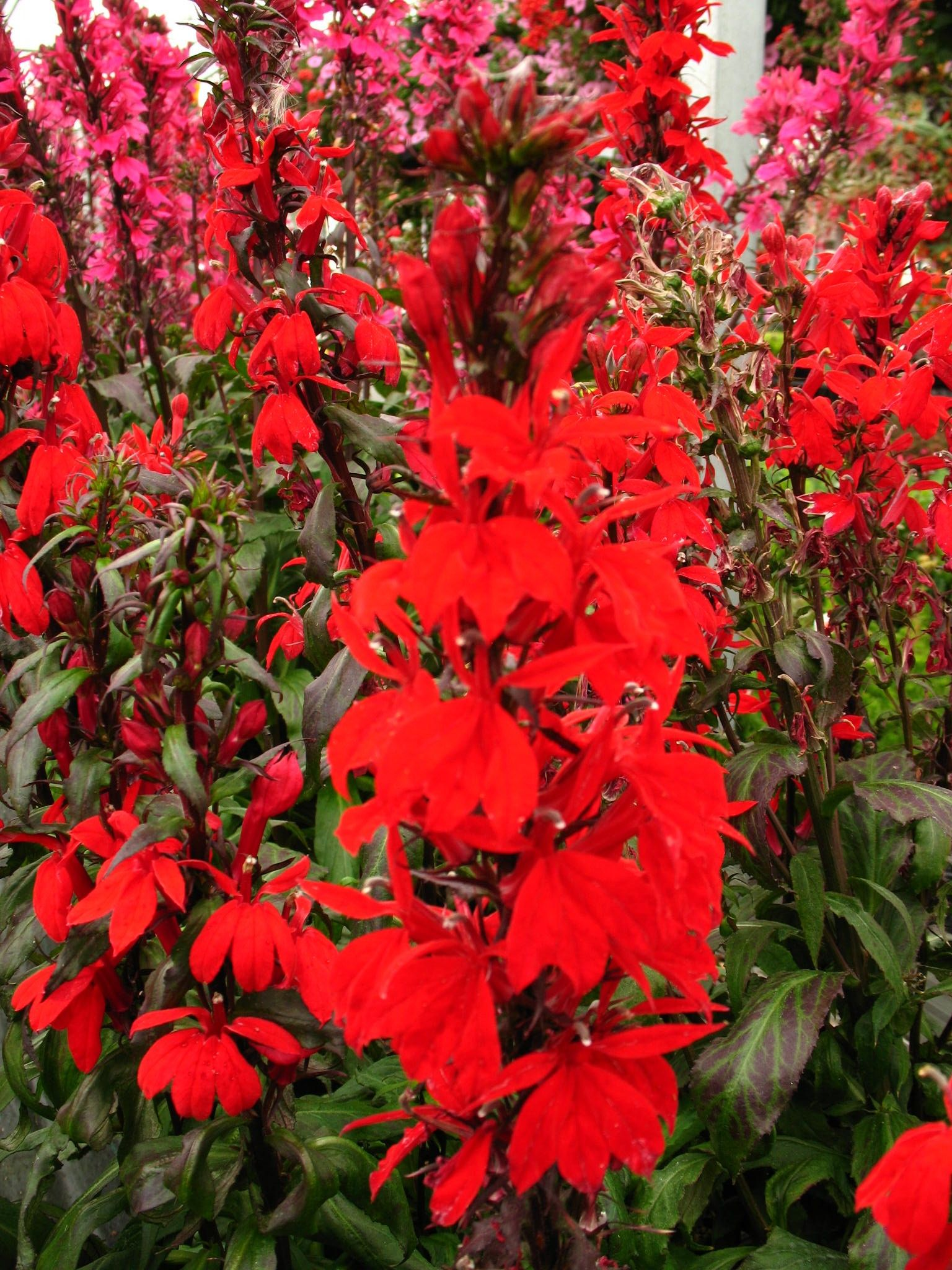 Lobelia Speciosa Starship Scarlet Cardinal Flower 2016 Whats