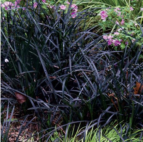 Ophiopogon 'Nigrescens' (Black Mondo Grass)