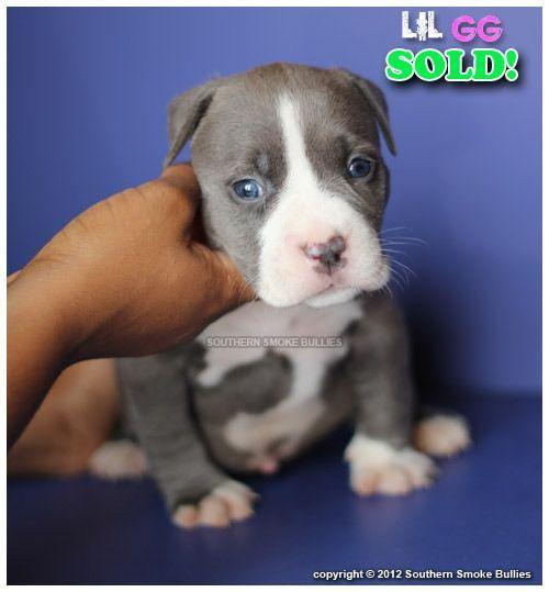 Blue Pitbull Puppies For Sale Bully Style Pitbulls Pit Bull