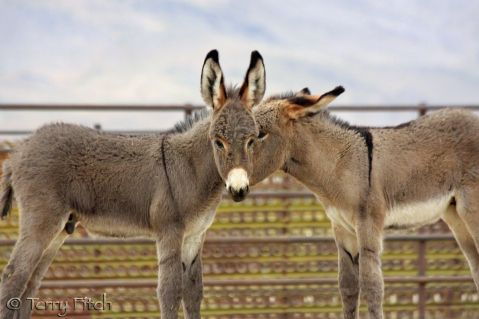 BLM rounding up more wild burros on the brink of extinction in the U.S. For more information on the Wild Horse and Burro Program, call 866-468-7826 or email wildhorse@blm.gov.