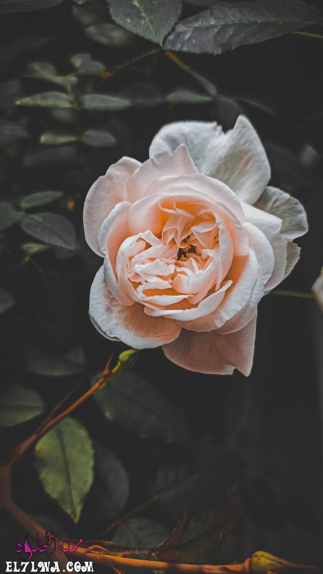 خلفيات ورد خلفيات ورود جميلة جدا خلفيات ورد طبيعي الورد من أكثر الأشياء التي ترسم البسمة وتبعث الر احة والت فاؤل بألوانها الز اهية وبرائحت In 2021 Rose Flowers Photo
