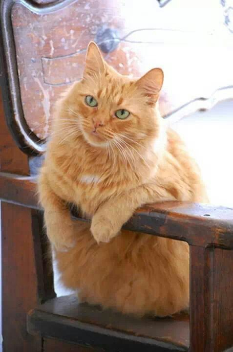 Orange Long Hair Tabby Cat With Green Eyes Handsome