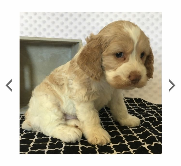 Cockapoo Puppies For Sale In Ohio Cheap References