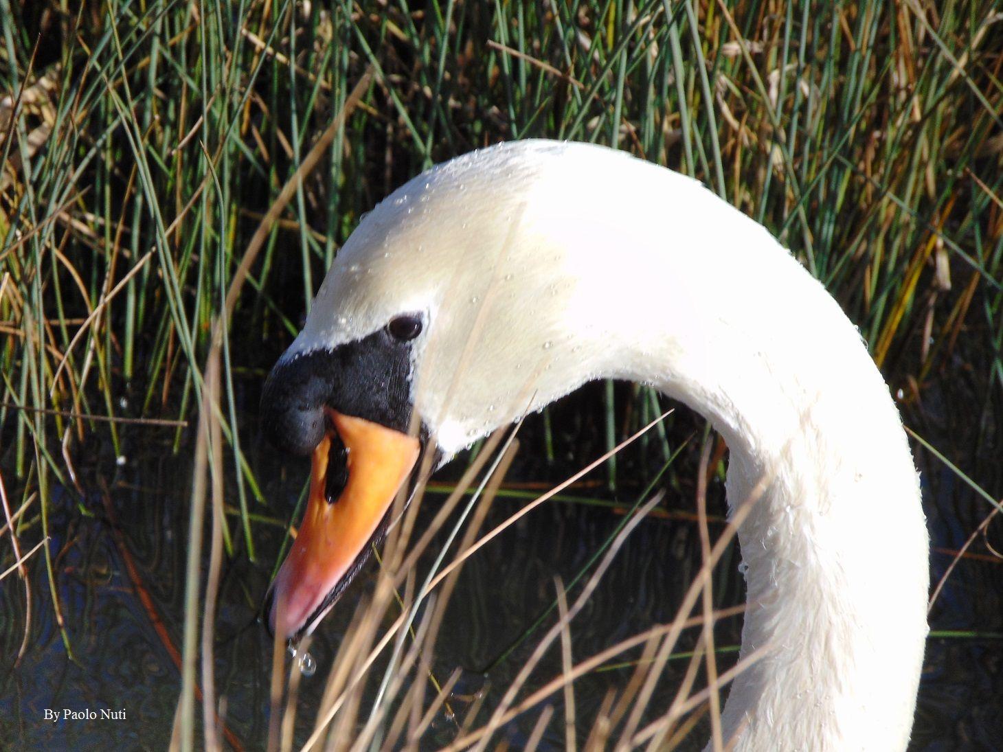 Swan - Il cigno stava mangiando, immergendo il capo per di beccare le piante acquatiche e palustri, si vede ancora qualche goccia d'acqua.
