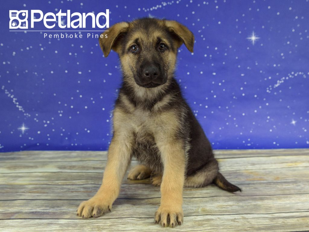 Petland Florida Has German Shepherd Puppies For Sale Interested In Finding Out More About The German Shepherd C Puppy Friends German Shepherd Puppies Puppies