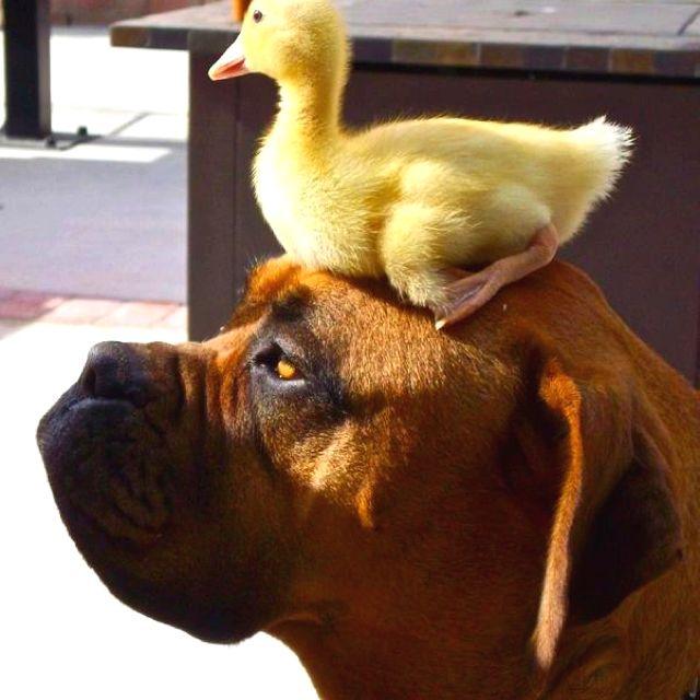 #Bullmastiff and a #duck