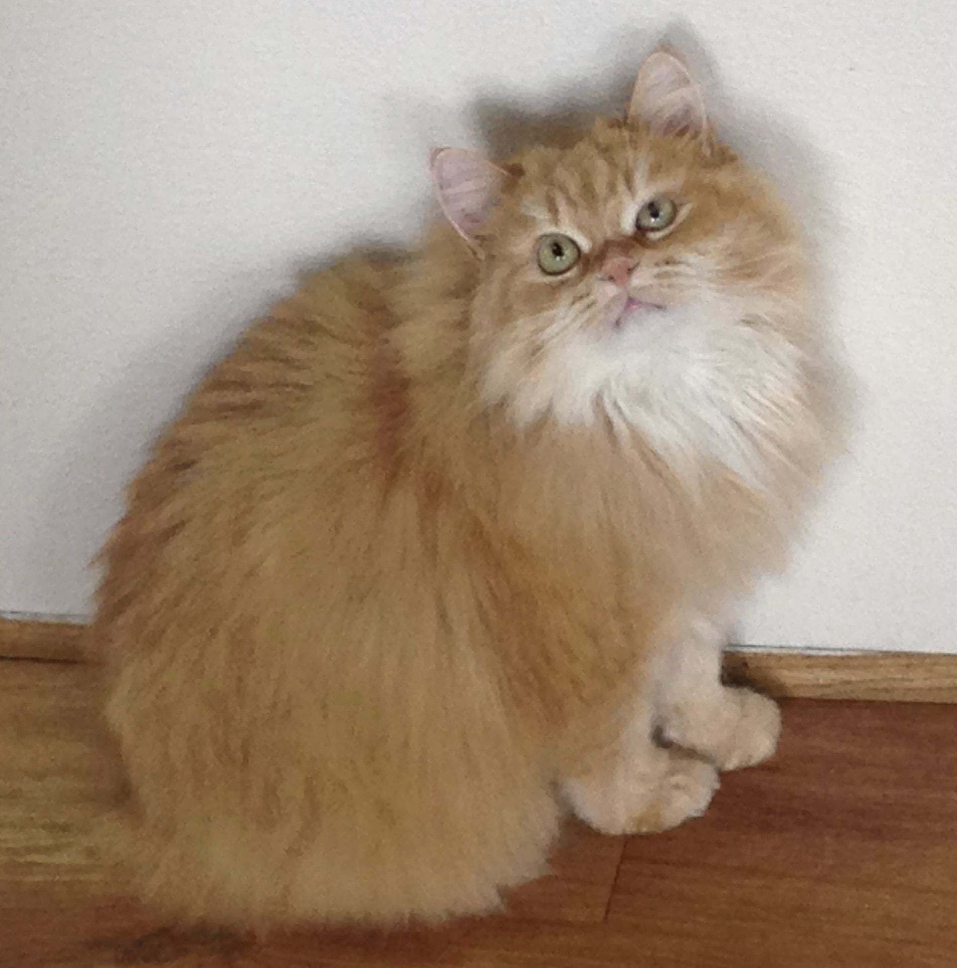 Cymric Cat Is A Breed Of Domestic Cat Some Cat Registries Consider The Cymric Cat Simply A Semi Long Haired Pretty Cats Long Hair Cat Breeds Long Haired Cats