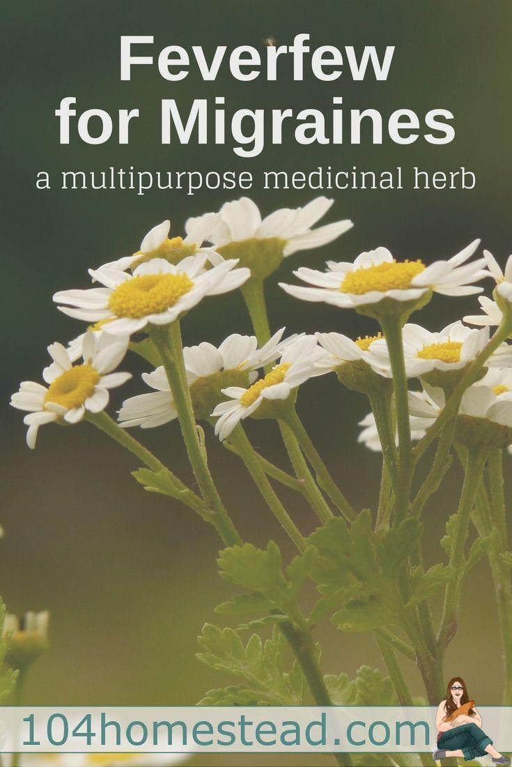 Feverfew For Migraines A Multipurpose Medicinal Herb With Images Feverfew For Migraines Natural Headache Remedies Feverfew