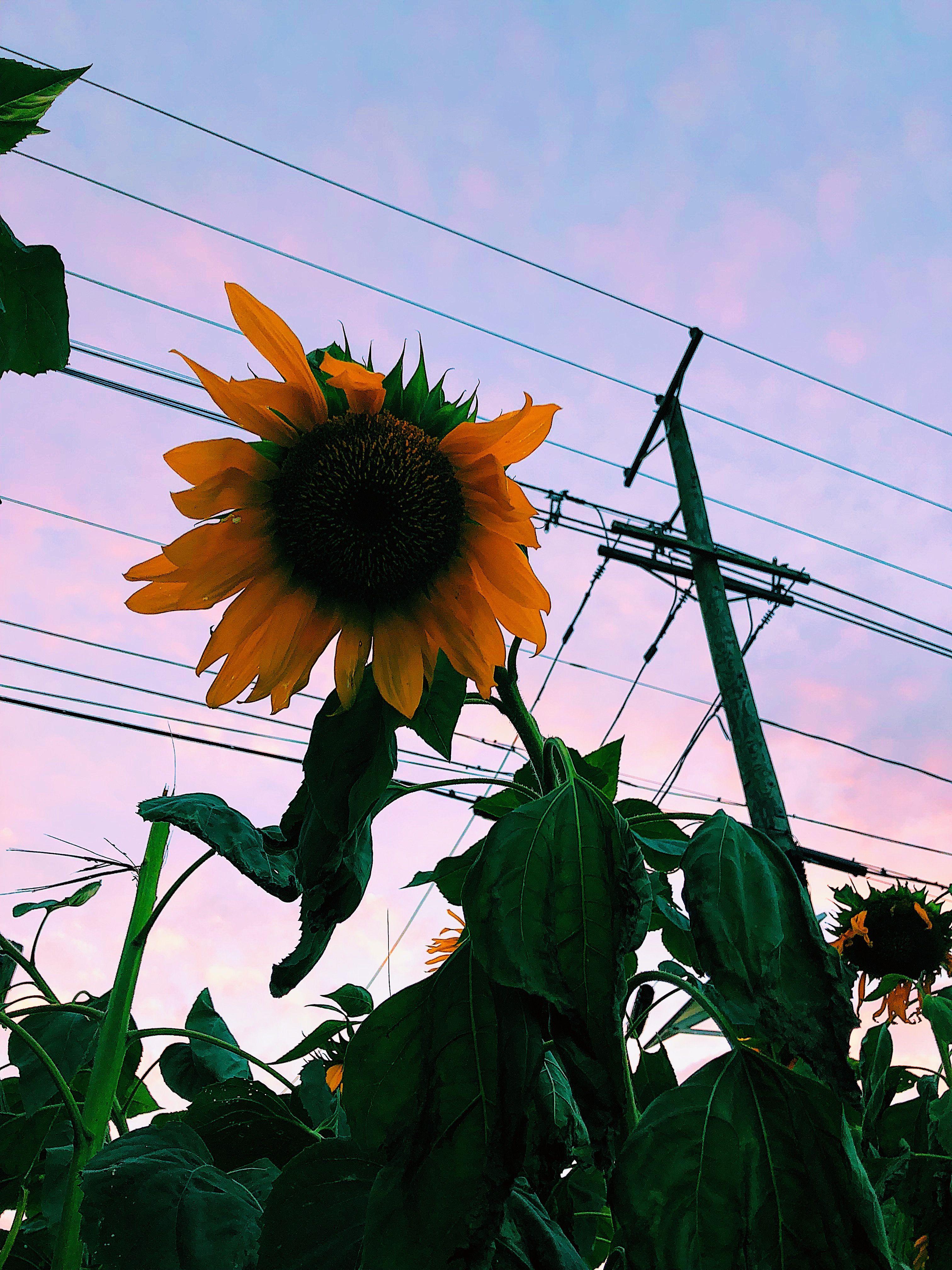 Aesthetic Sunset Vsco Sunflower Vsco Pictures Sunflower Sunset Instagram