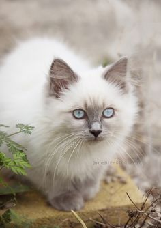 Pretty Cats on Pinterest | Turkish Van Cats, Cat Breeds and Maine Coon