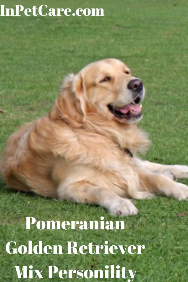 Pomeranian Golden Retriever Mix Personility Golden Retriever Golden Retriever Mix Puppies Golden Retriever Mix