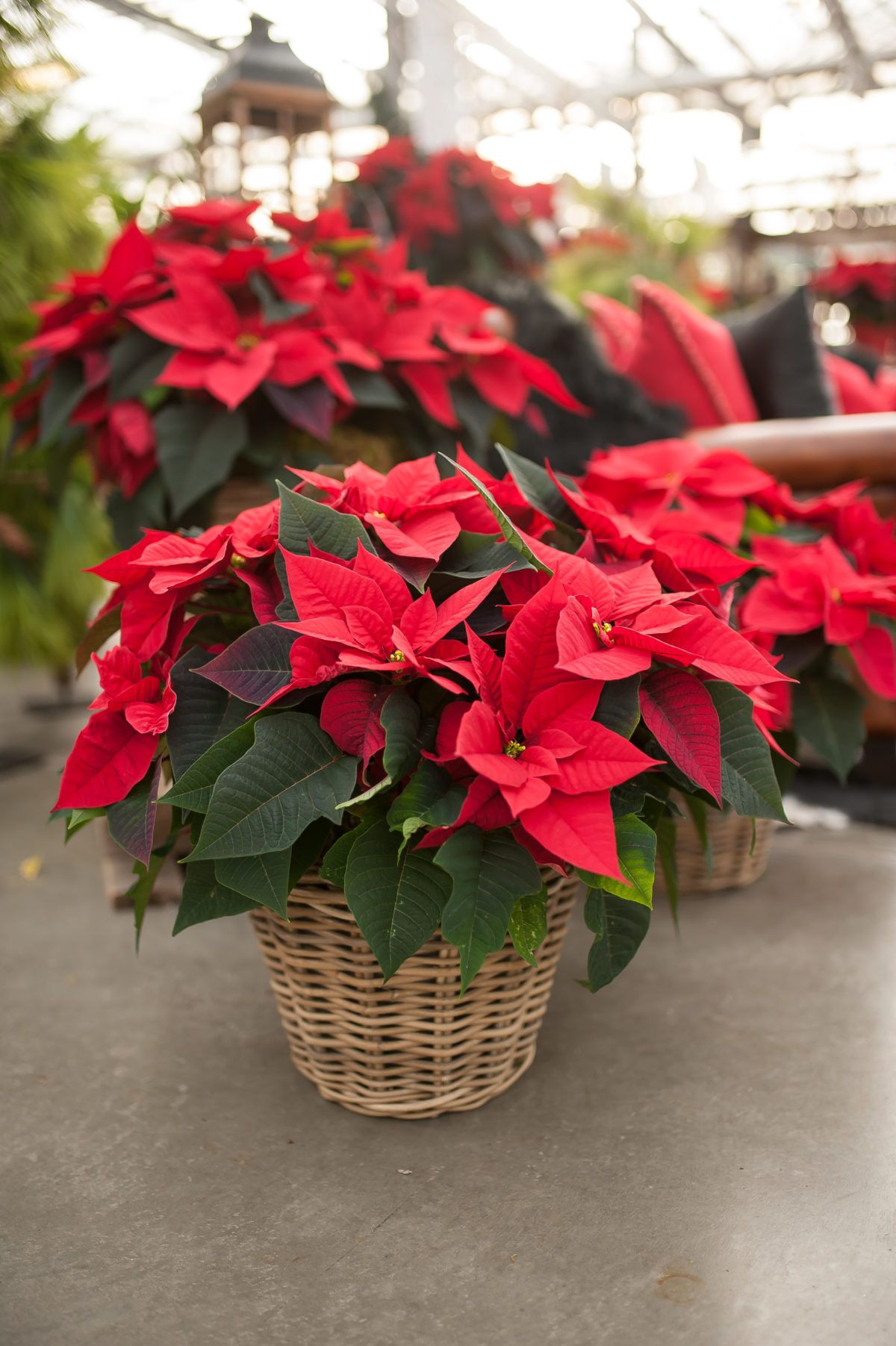 Poinsettia Baskets Christmas Indoor Plants, All
