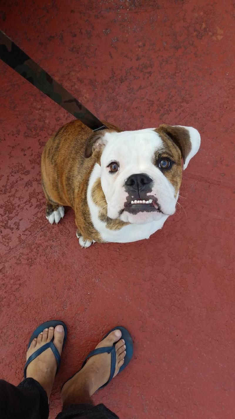 Adopt Brodie on English bulldog dog, English bulldog