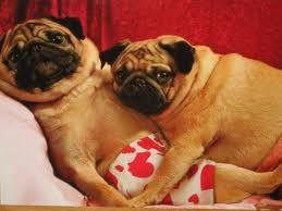 Pugs In Love Pugs Cute Pugs Pug Love