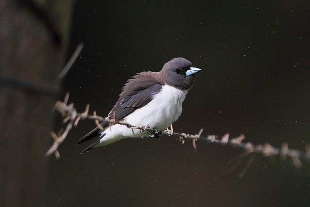 White-breasted Woodswallow | Flickr - Photo Sharing!