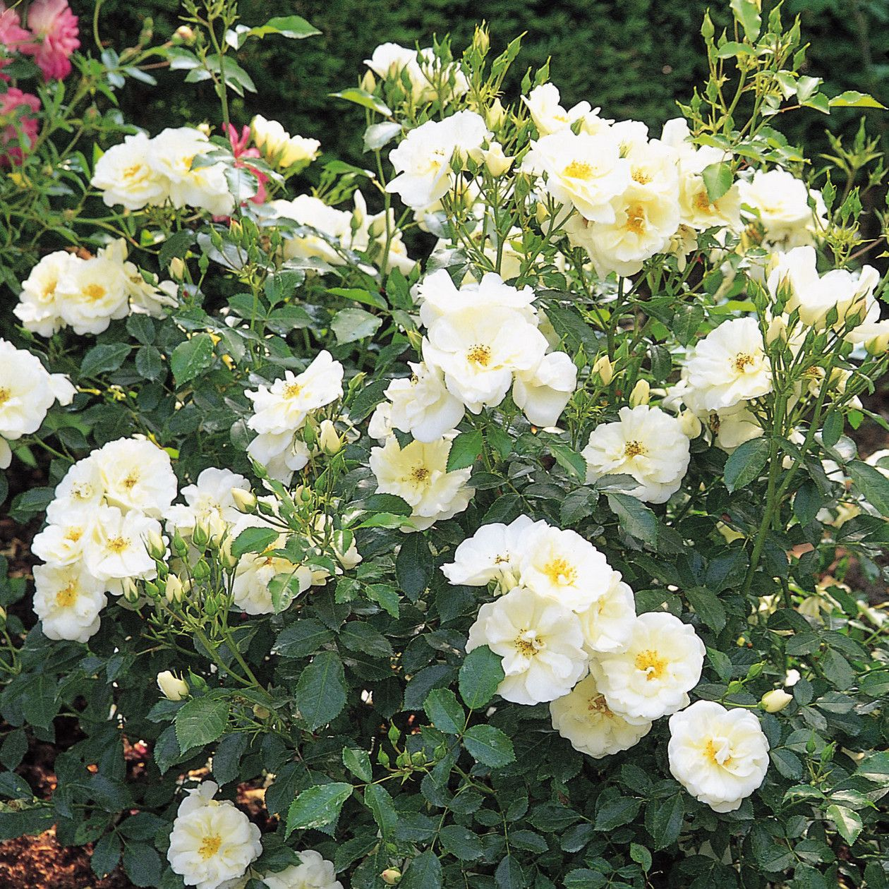 Flower Carpet White Google Search Kathi Steve Pinterest