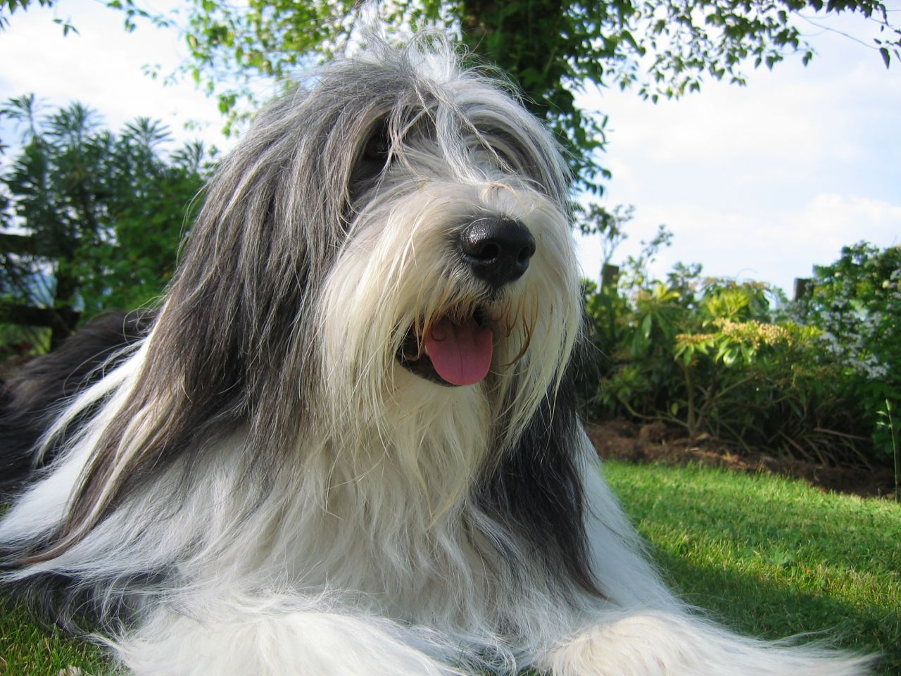 Pedigree Bearded Collie Puppies For Sale 51cd6f392c7a0 Jpg 1280