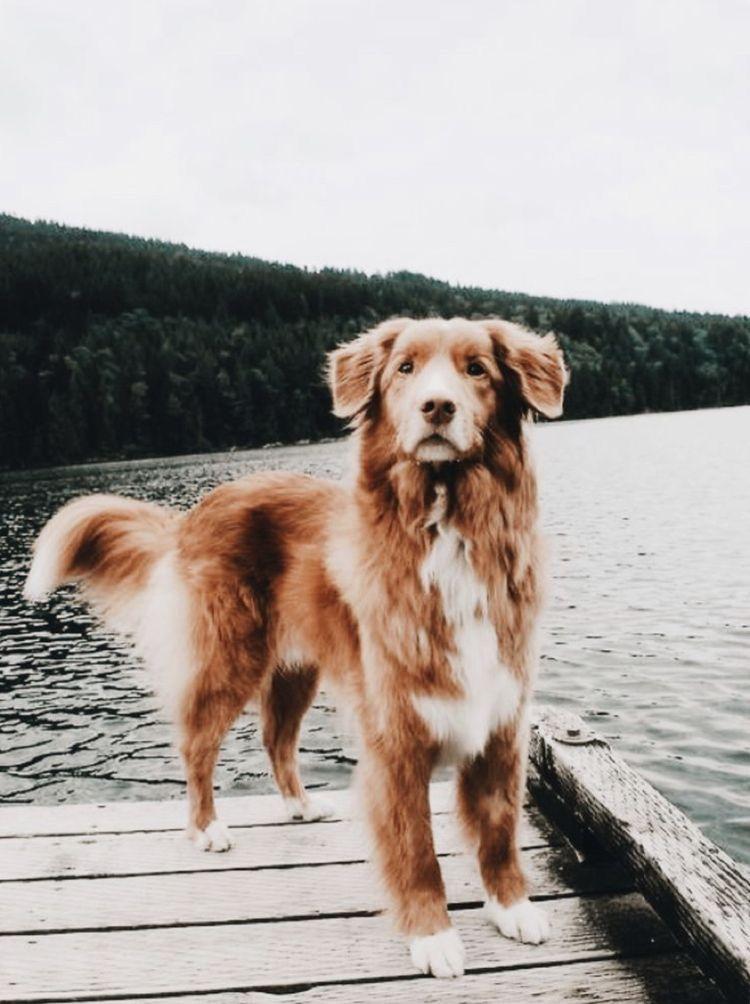 Pin By Miikkajuntunen On Dogs Koira Sopot Koirat Pentu