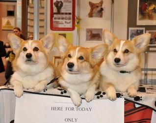 Welsh Corgi News The Royal Corgis Corgies Corgi Dogs