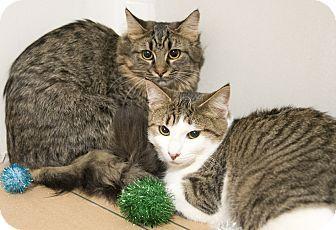 Chicago Il Domestic Mediumhair Meet Lexi Kitten Adoption Cat Adoption Pets