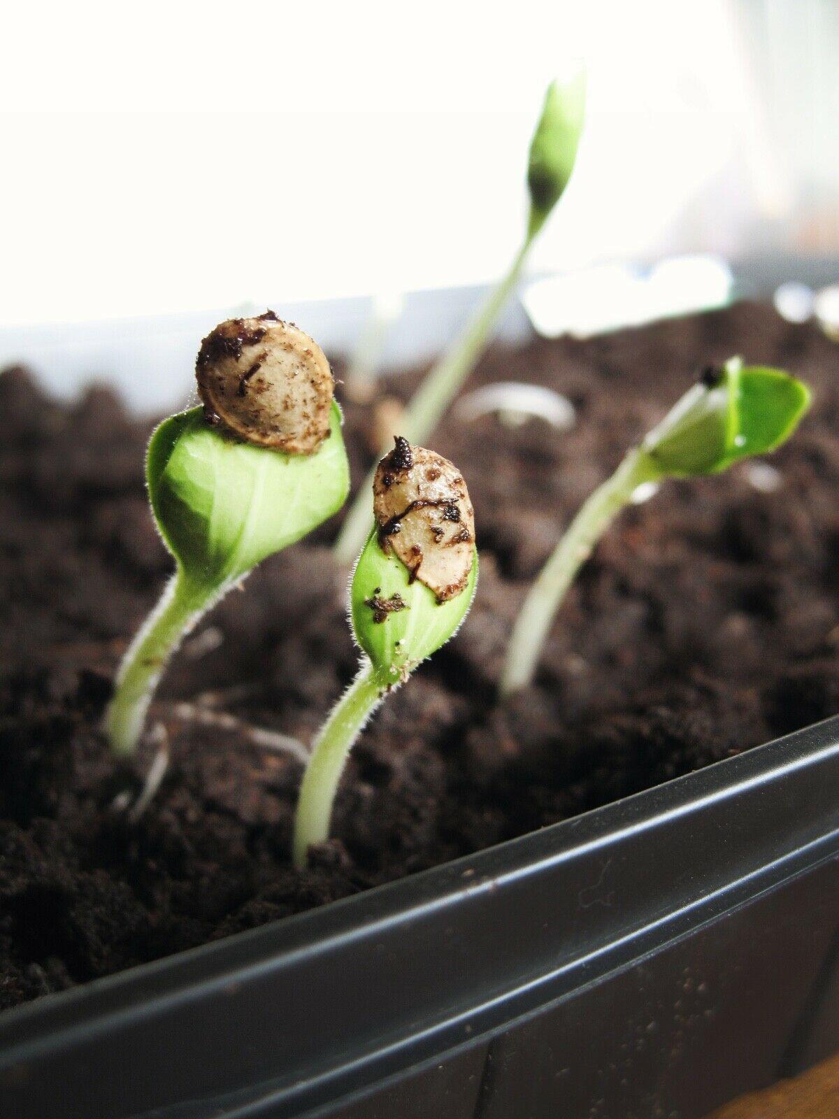 10 silene capensis / 2 calea zacatechichi pods (dream herb
