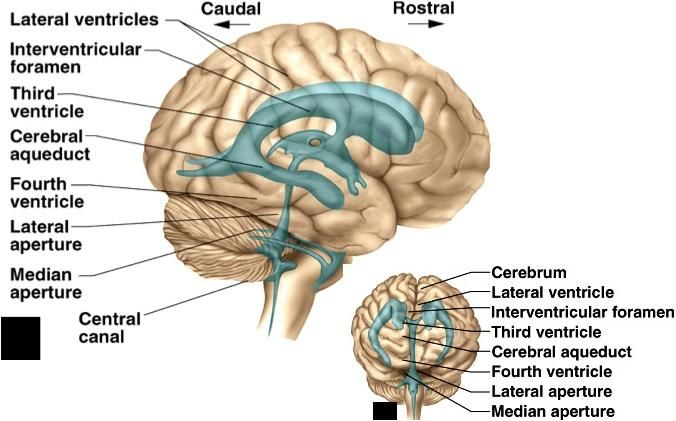 Brain lateral ventricles model google search anatomy brain brain lateral ventricles model google search ccuart Choice Image