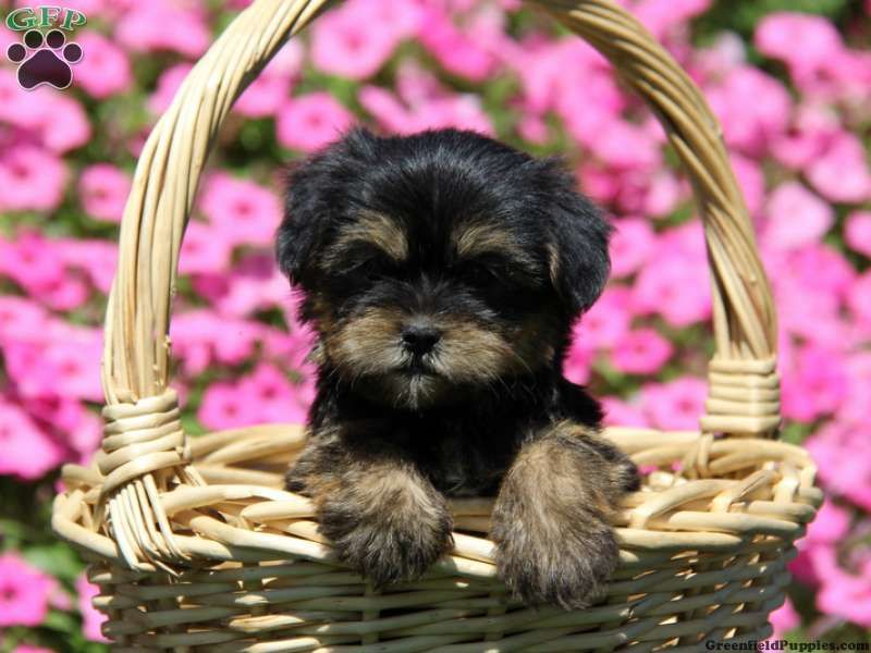 Grovera Sweet And Fluffy Shorkie Puppy For Sale In Christiana Pa