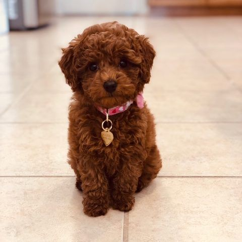 Puppy Application ⋆ Mini Doodle Dogs
