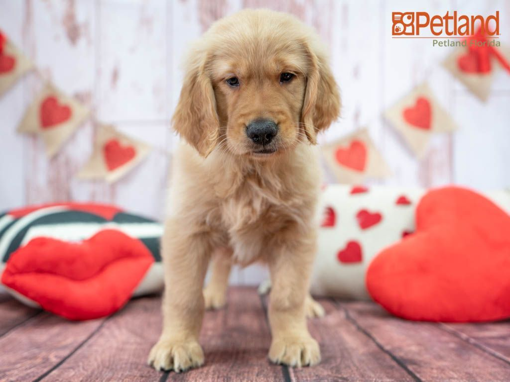 Puppies For Sale Puppies Retriever Puppy Dog Lovers