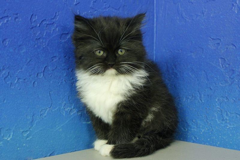 Hannah Black Mitted Solid Ragdoll Cat Kitten From Www Ragdollkitten Us Ragdoll Kittens For Sale Cats And Kittens Ragdoll Cat
