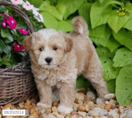 Harvey Eskipoo Puppy For In