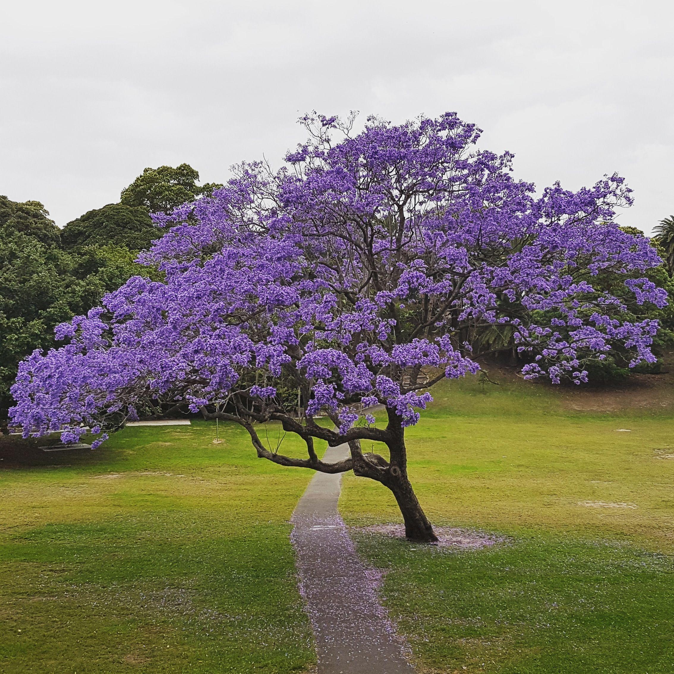 The Flowering Jacaranda Tree In Spring Jacaranda Tree Garden