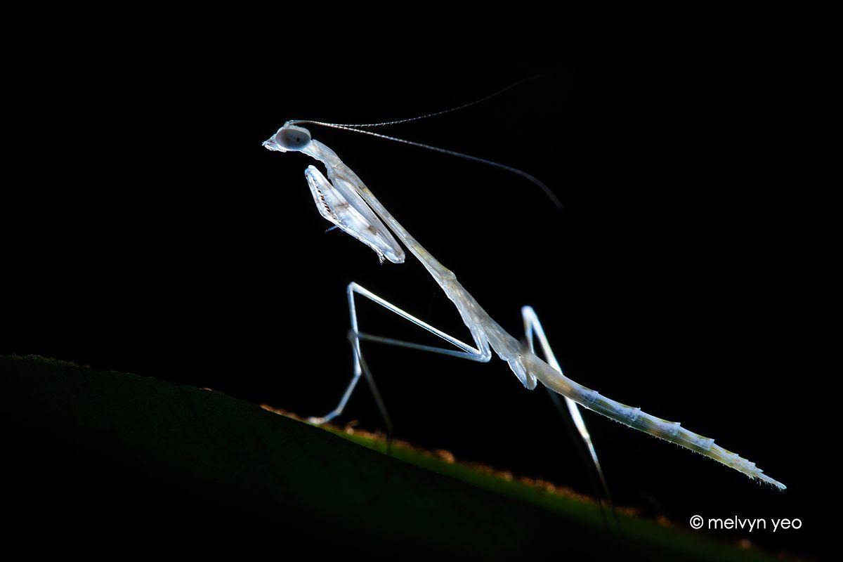 White Mantis Nymph Nymph Animal Photo Praying Mantis