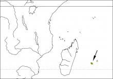 Reunion White-eye (Zosterops olivaceus)
