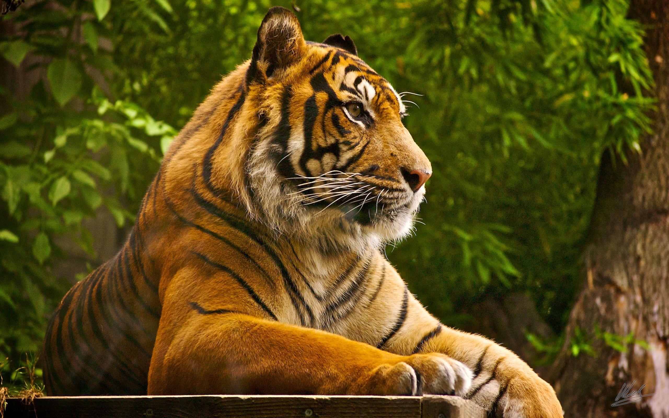 Hd wallpaper zone - Sumatran Tiger Wallpapers Hd Wallpapers Wallpaper Zone