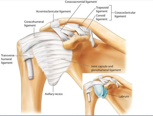 Ac Ligaments Acromioclavicular And Coracoclavicular Conoid And