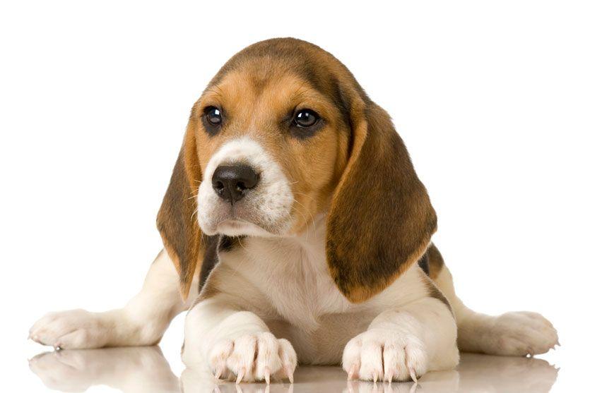 Beagle Beagle Puppy Beagle Dog Beagle
