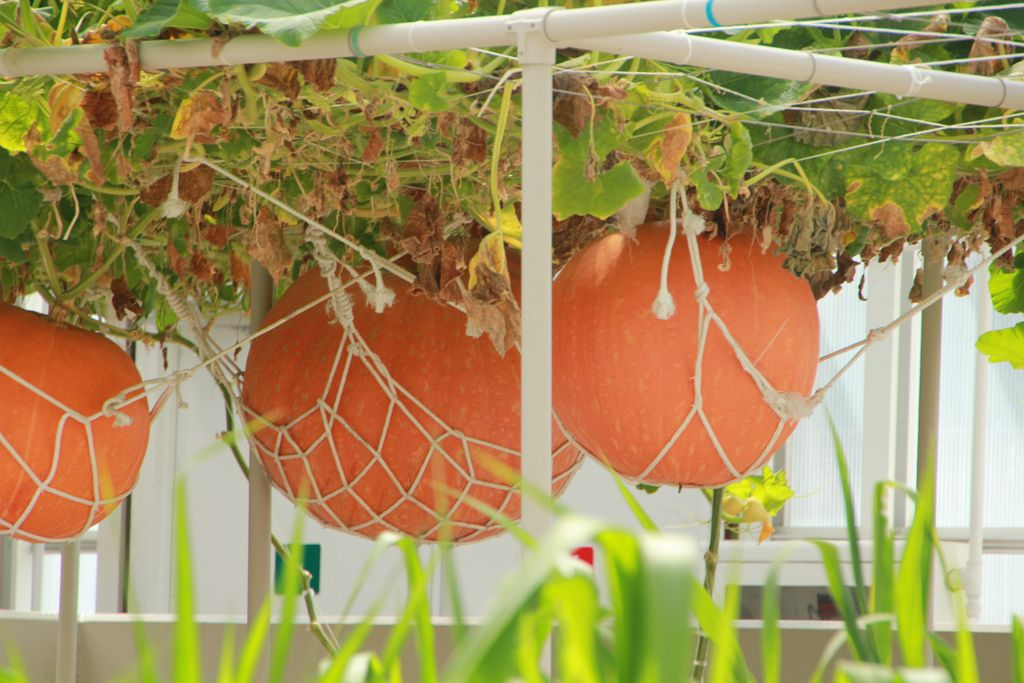 hanging pumpkin patch potted and hanging vegetable garden ideas pinterest. Black Bedroom Furniture Sets. Home Design Ideas