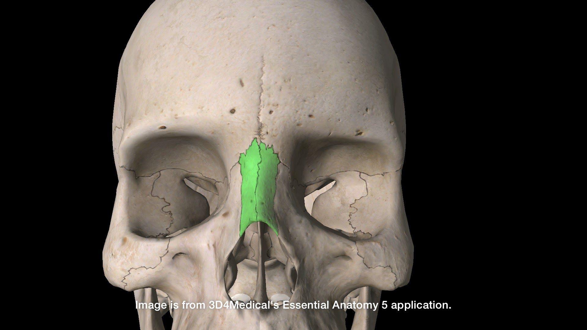 Left and Right Nasal Bones | Tiempos verbales | Pinterest | Human skull
