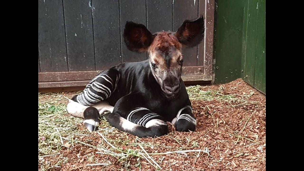 Geboorte Okapi In Diergaarde Blijdorp Rotterdam 2e Jong In 2017 Okapi Dieren Rotterdam