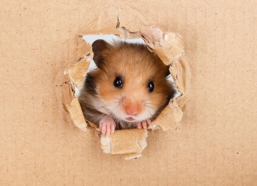 8 Surprising Facts About Hamsters Funny Hamsters Cute Hamsters Syrian Hamster