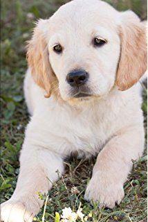 Buy Perfect Petzzz Golden Retriever Multi Color Online At Low Golden Retriever Cute Dogs Images Labrador Retriever Puppies