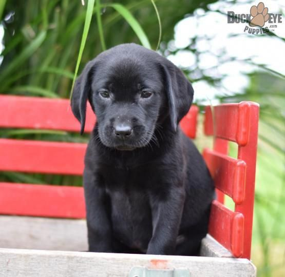 Candy Labrador Retriever Puppy For Sale In Fresno Oh Buckeye