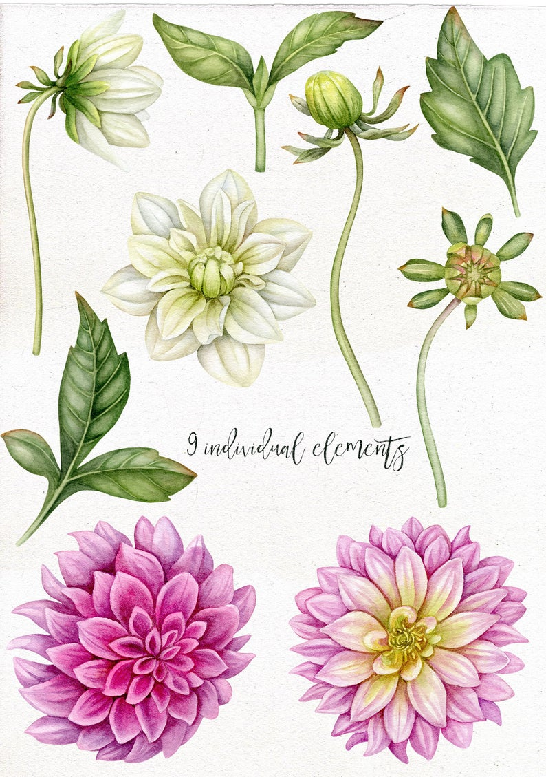 Watercolor Dahlia Flowers Buds And Leaves Clip Art Individual Png Elements Clipart In 2020 Dahlia Flower Tattoos Dahlia Flower Flower Drawing