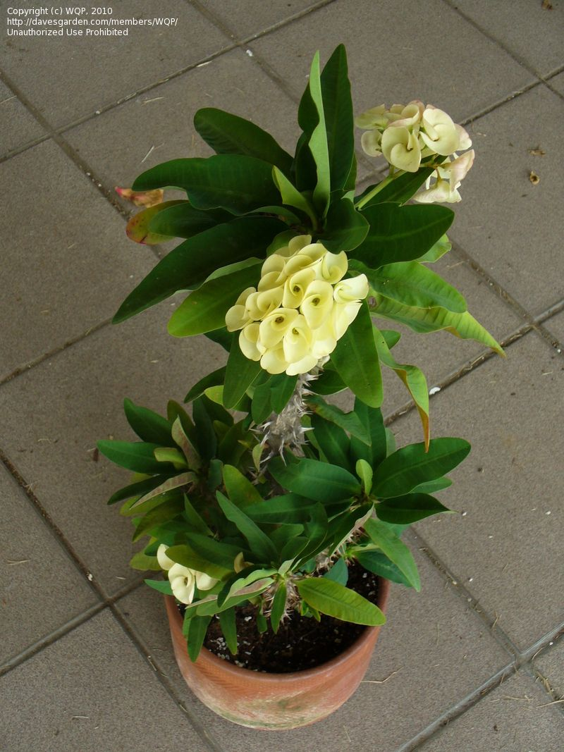 Thursday Plants 101 How To Prune A Crown Of Thorns Plant