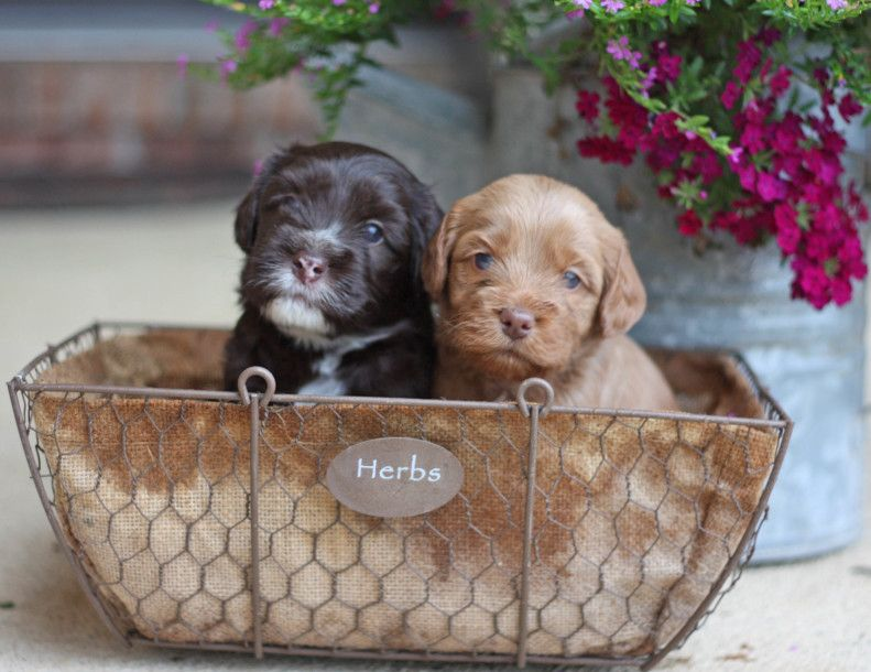 Labradoodle Puppies For Sale Ohio Valley Labradoodles