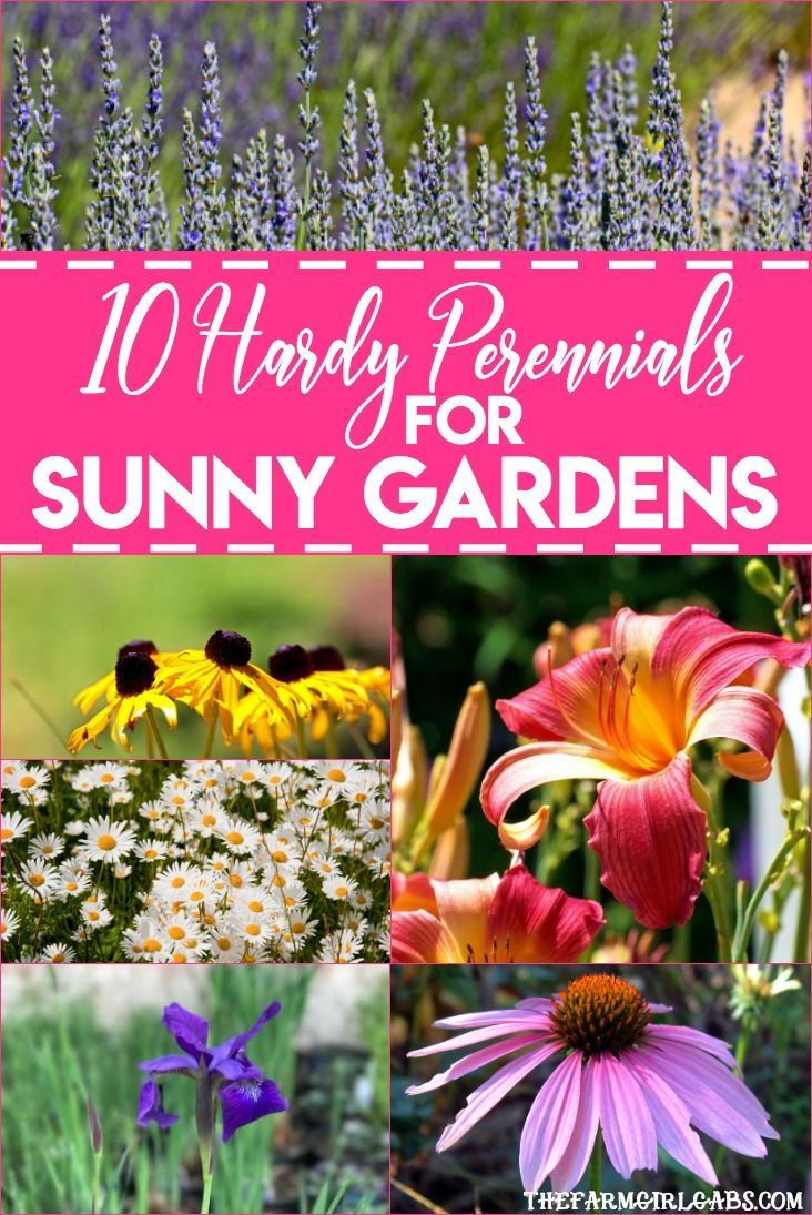 Superbe 10 Hardy Perennials For Sunny Gardens | On The Blog | Pinterest | Hardy  Perennials, Perennials And Planting