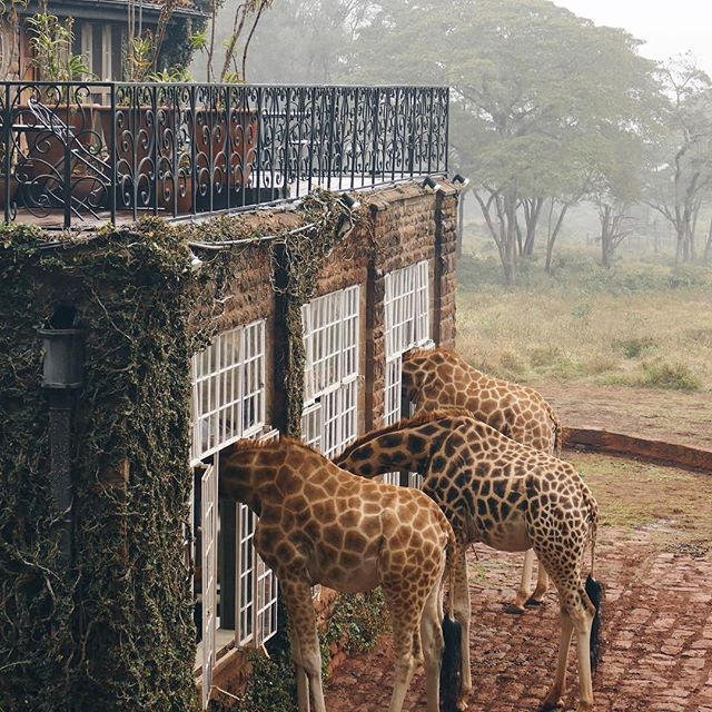 At the break of dawn, the giraffes showed up. Add this to your bucket list - Giraffe Manor, Nairobi, Kenya. Photo by: @traveljunkiediary Explore. Share. Inspire: #earthfocus #FF #photooftheday #earth