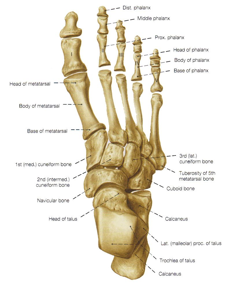 hight resolution of bones of the foot bones of the leg and the foot skeleton of the hindlimb